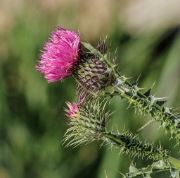 Milk Thistle – Silybum marianum